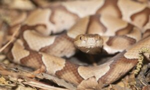 A Southern Copperhead Snake in North Carolina