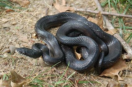 Rat Snakes in North Carolina